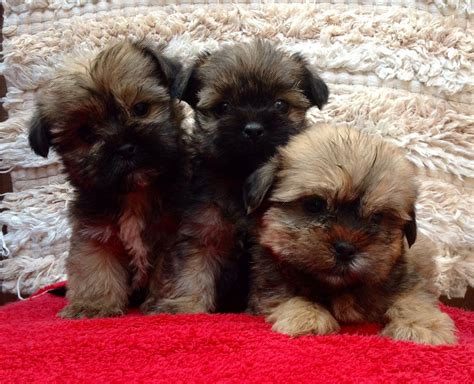 shih tzu x yorkie for sale yorkie x shih tzu puppies for sale llanfyllin powys pets4homes