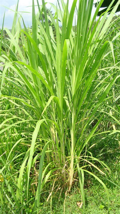 Rumput Raja King Grass king grass rumput raja puslitbang peternakan flickr