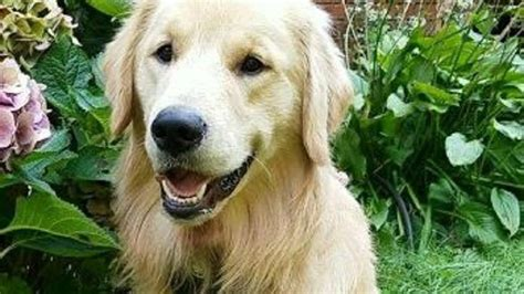 12 year golden retriever not lakeville charged after fatally shooting s golden retriever