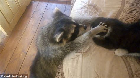 adorable moment  curious raccoon attempts
