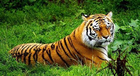 Dormir Avec Les Tigres 1257 by Les Tigres De L Amour Peuvent Dormir Tranquilles Sputnik