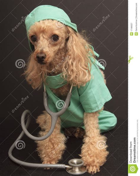 doctor dog royalty  stock photography image