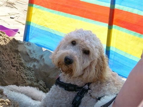 standard labradoodle puppies for sale standard labradoodle puppies for sale bolton greater manchester pets4homes