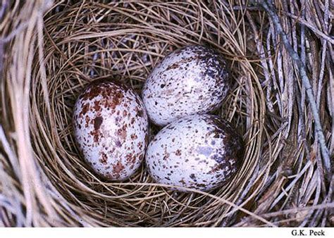 when do cardinals lay eggs cardinal bird eggs cardinals egg and bird