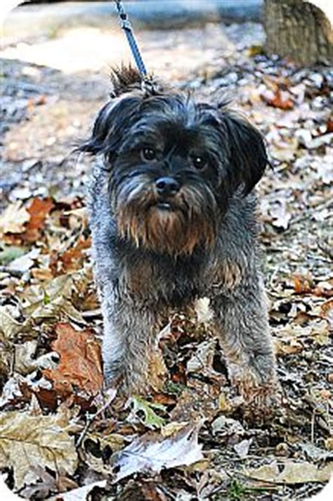 cairn terrier and shih tzu mix jax adopted hagerstown md cairn terrier shih tzu mix