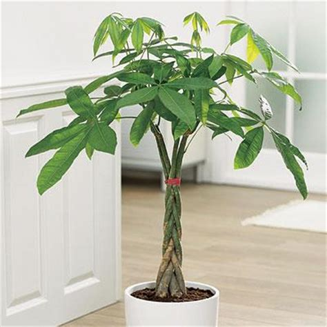 money tree plant bonsai