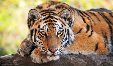 imagenes 4k tigre tlcharger fond d ecran tigre chat sauvage prdateur fonds