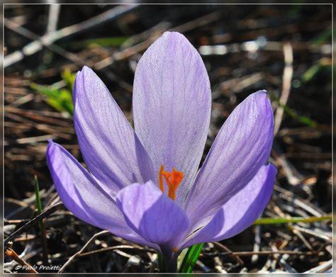 nomi fiori di co nomi fiori primaverili nomi fiori primaverili tutti i
