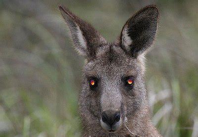 kangaroo  terrifying