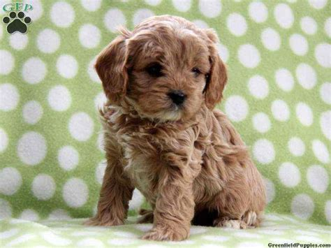 cavapoo puppies for sale in va cavapoo puppies puppys and puppies on