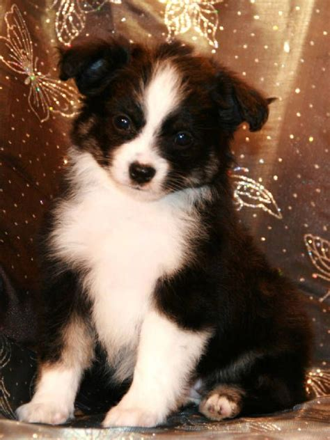 border aussie puppies for sale 25 best ideas about teacup australian shepherd on australian shepherd