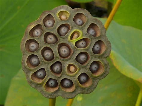 file iub arboretum lotus pond dry seed pod p1100172 jpg wikimedia commons
