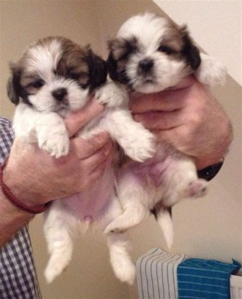 tiny shih tzu breeders tiny shih tzu puppies liverpool merseyside pets4homes