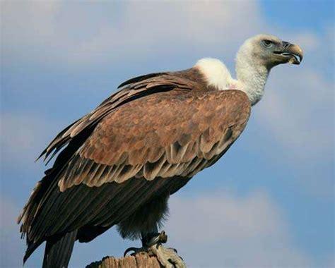 vulture characteristics species facts britannica com