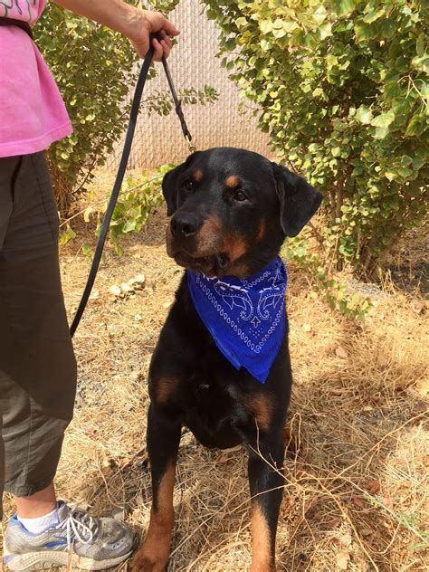 rottweiler breeders in northern california rottweiler rescue in northern california dogs our friends photo