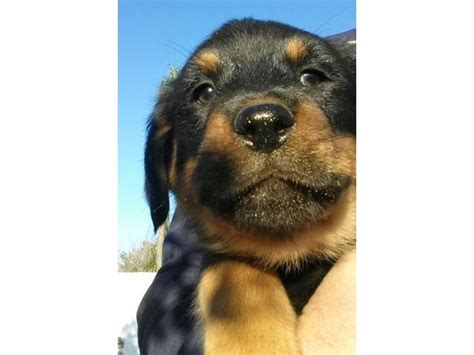 rottweiler puppies for sale johannesburg rottweiler puppies for sale x 4 available pretoria puppies for sale