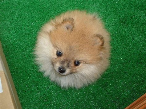 pomeranian classification pomeranian breed information puppies pictures