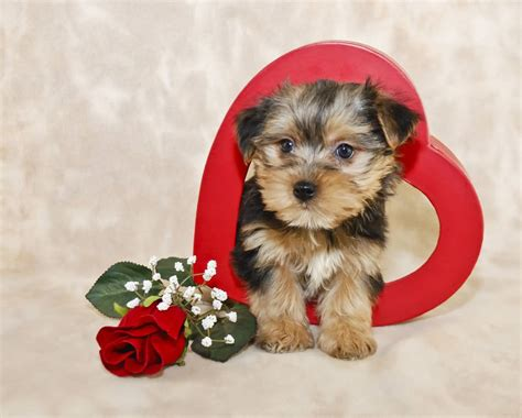 what you need to about yorkie puppies 7 things you need to about the morkie maltese yorkie mix animalso