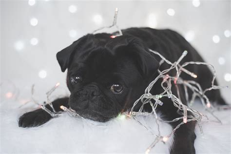 pug tips top 5 pug safety tips for the holidays the pug diary