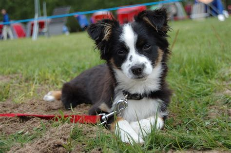 mini american shepherd puppies miniature american shepherd breed standards