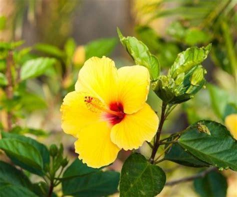 ibisco fiori ibisco il fiore della bellezza
