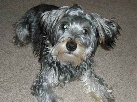 pictures of yorkie schnauzer mix snorkie schnauzer yorkie mix info temperament puppies pictures