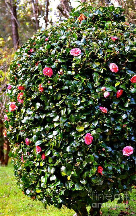 pink camellia bush photograph by lehua pekelo stearns