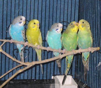 Buys A Parakeet by Budgerigars Parakeets Melopsittacus Undulatus