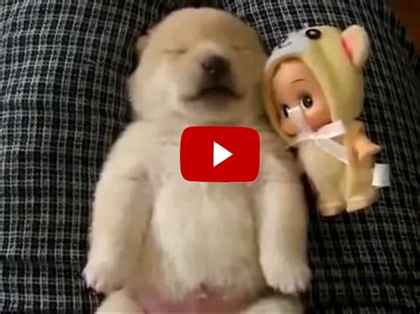 golden retriever puppy and baby this golden retriever puppy looks like an when he sleeps you to hear his