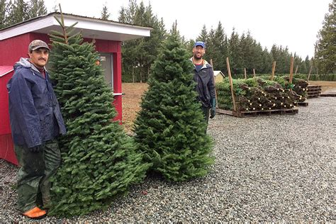 langley grows past christmas tree shortage bc local news