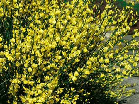 evergreen shrub yellow flowers broom plant ideal plant for effect backyard