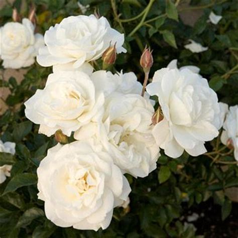 16 best images about white iceberg roses on pinterest gardens trees and white flowers