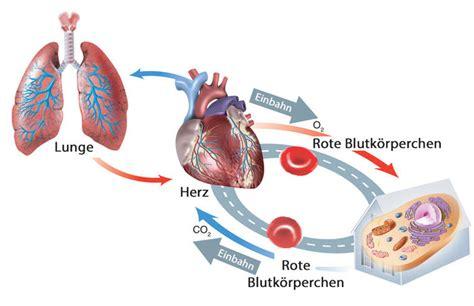und innere atmung blutkreislauf biologie