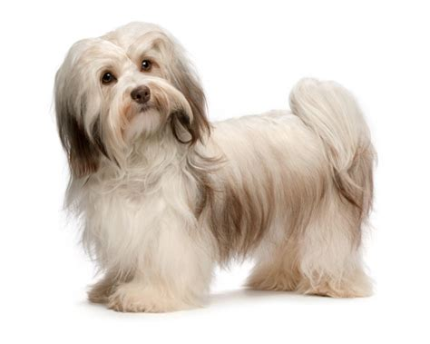havanese size the gallery for gt havanese size