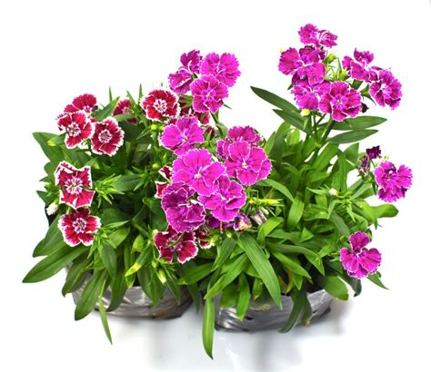 best way to grow and care for dianthus plants in pots grow plants in pots