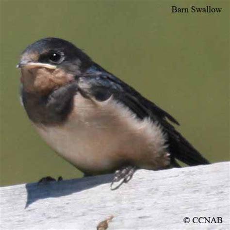 barn swallow birds of cuba cuban birds
