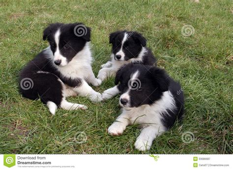 find a puppy for free brindle border collie puppies breeds picture