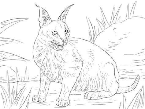 caracal desert wild cat coloring page super coloring