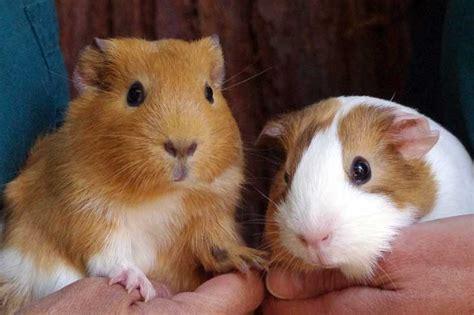 domestic guinea pig curiodyssey