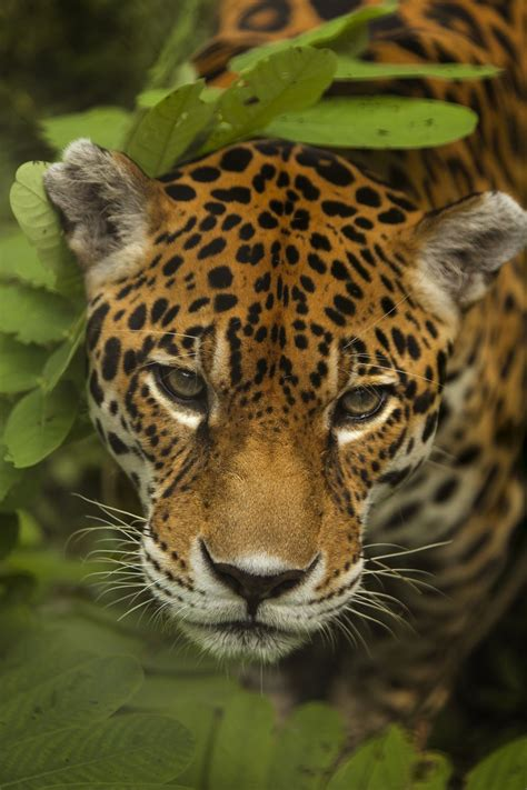 jaguar animal endangered reality is helping scientists to protect