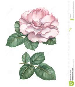 watercolor rose illustration royalty free stock