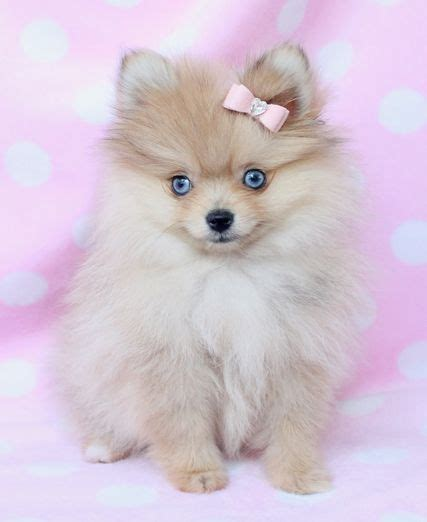 blue pomeranian puppies 1000 ideas about pomeranian puppy on teacup pomeranian teacup pomeranian