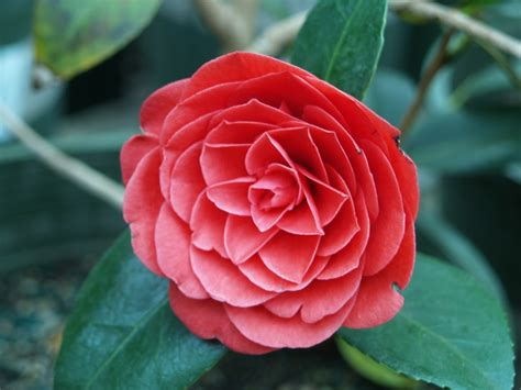 camellia japanese camellia japonica monthly plant
