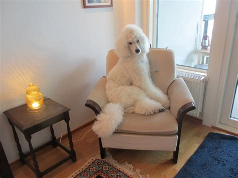 golden retriever puppy coat change standard poodle puppy coat change dogs our friends photo