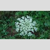 Blue Yarrow Flower | 1920 x 1080 jpeg 641kB