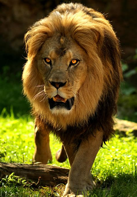 imagenes medicas amado de leon imagen leon del atlas 6 png wiki reino animalia