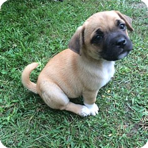 pug corgi mix corgi puppy 8 weeks breeds picture