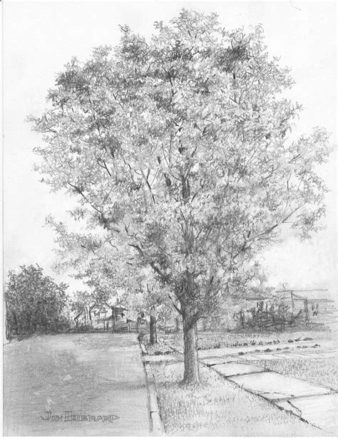 maple tree drawing maple drawing by jim hubbard