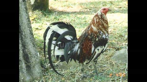 videos de gallos las peleas mas rpidas videos de peleas de gallos rapidas