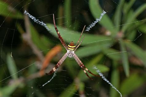 spider with yellow pattern on back st andrews cross spider argiope keyserlingi